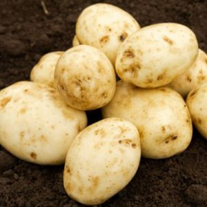 Maris Bard Seed Potatoes, 2kg - First Early
